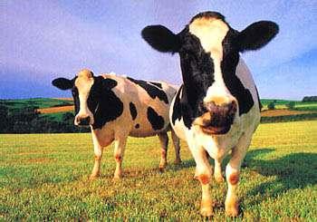 mal de la vaca loca