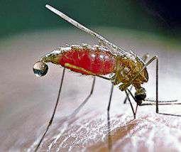 Los mosquito La Malaria Fiebre Amarilla