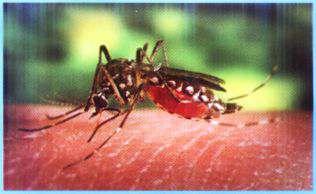 ¿Cómo es el mosquito transmisor?