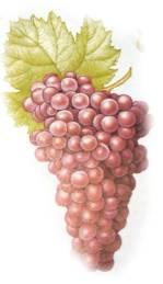 Variedades de Uvas y Sus Características:Merlot Malbec Sauvigon