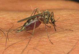 mosquito de la malaria
