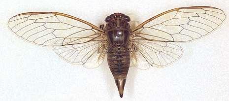 Cicada Plebeius muy común en Europa