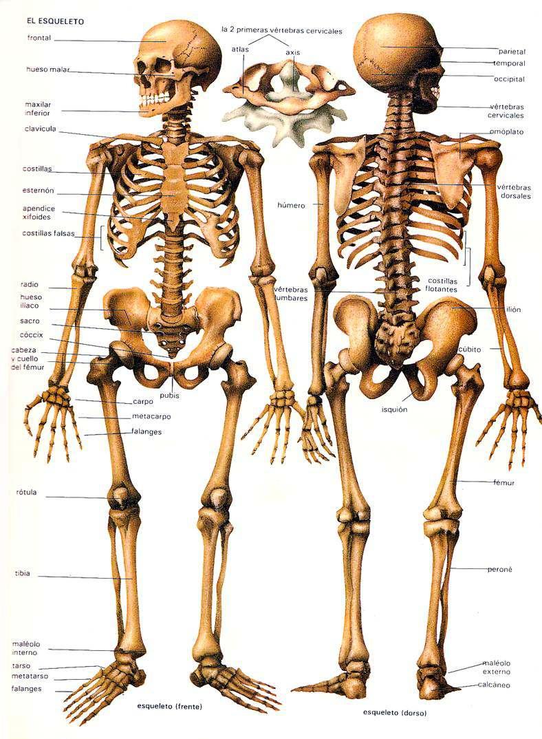 Esqueleto Humano Los huesos del cuerpo humano Lamina Descargar