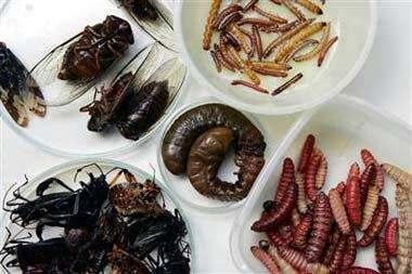 Insectos Comestibles Fuente de Proteínas Comer Insectos Gusanos