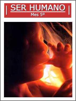 5º mes de gestacion feto