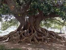 Ombú - árbol argentino
