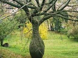 Palo borracho- árbol argentino