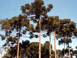 Pino Paraná - arbol argentino