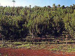 Yerba mate - árbol argentino