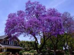 Jacaranda - árbol argentino