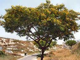 Tipa - árbol argentino