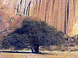 Algarrobo - árbol argentino