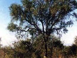 Quebracho colorado santiagueño - árbol argentino