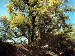Sauce Criollo - árbol argentino