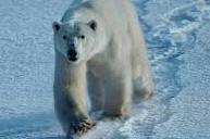 Oso Gris Artico
