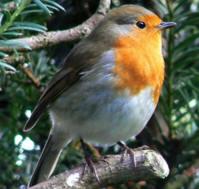 migracion de las aves petirrojo