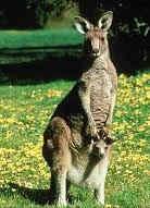 mamiferos canguro