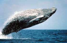 mamiferos ballena