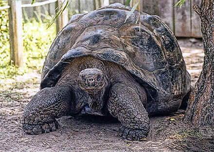 Las Tortugas Gigantes de las islas Galapagos