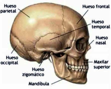 Huesos de la Cabeza Humana Craneo Huesos de la Cara Cuantos