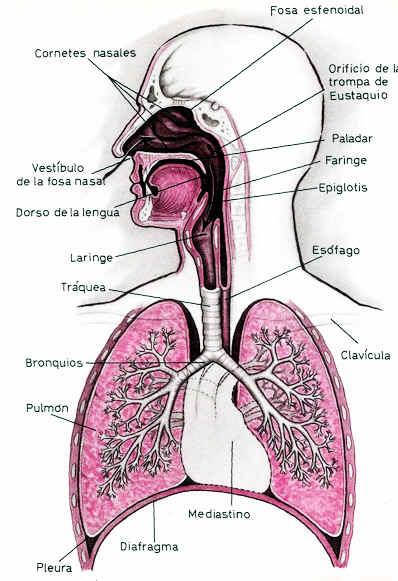 El Sistema Respiratorio Nariz Laringe Faringe Traquea Pulmones Partes