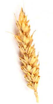 Importancia de los Cereales en la Alimentacion – Historia – BIOGRAFÍAS e  HISTORIA UNIVERSAL,ARGENTINA y de la CIENCIA