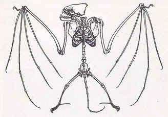 Vida de los Murcielagos:Características y Tipos en Argentina