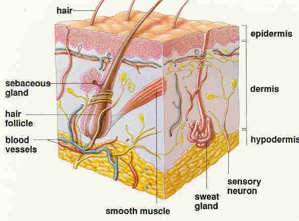 La Piel Humana Capas y Celulas de la piel Pigmentos Organos Humanos