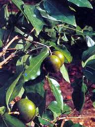 Plantas Venenosas:Nombres del Plantas Toxicas y Peligrosas
