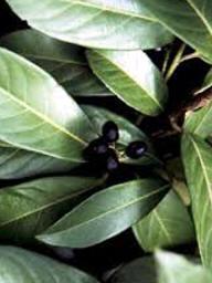 Plantas Venenosas:Nombres del Plantas Toxicas y Peligrosasplantas-veneosas