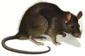 Vida de las Ratas Tipos Reproduccion Costumbres