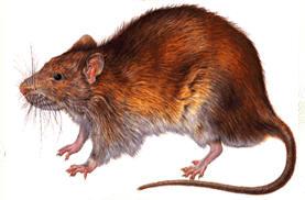 Vida de las Ratas Tipos Reproduccion Costumbres y Enfermedades – BIOGRAFÍAS  e HISTORIA UNIVERSAL,ARGENTINA y de la CIENCIA