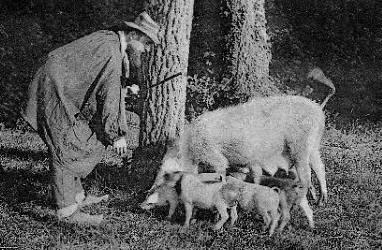 Busqueda de trufas con cerdos