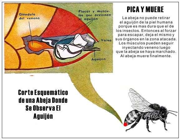 agujon de una abeja