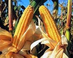 maiz planta marlo choclo