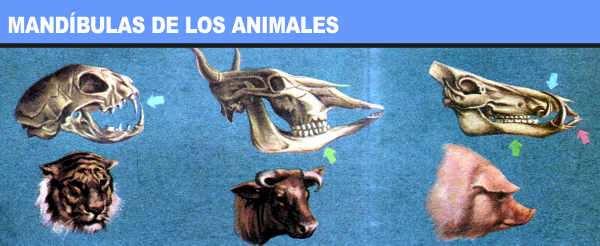 mandibulas de los animales segun su alimentacion