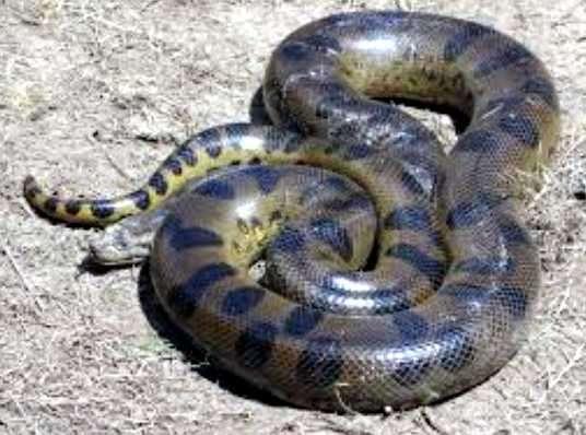 serpiente anaconda