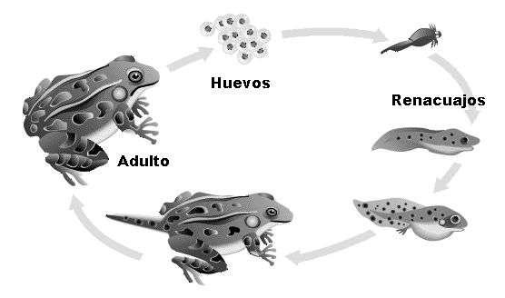 ciclo de nacimiento de la rana común