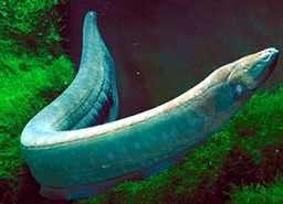 pez anguila electrica