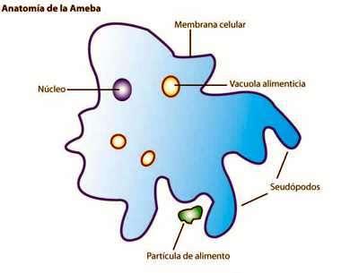 esquema de una ameba