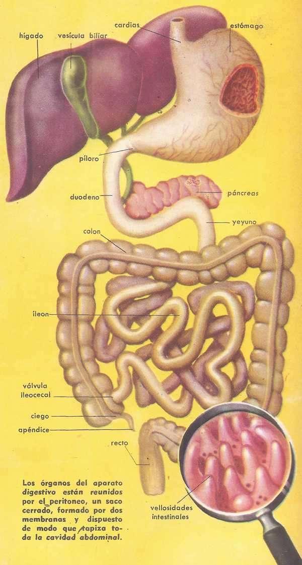 Etapas en la Digestión de los Alimentos Cuerpo Humano