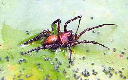 araña acuatica argyroneta