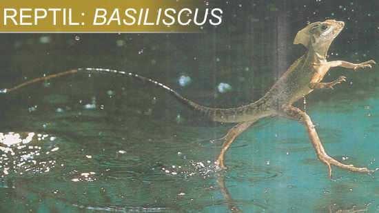 basiliscus reptil camina sobre el agua