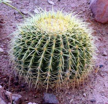 Usos y Utilidades del Cactus e Historia de la Planta