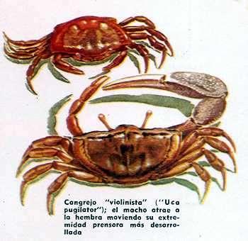 cangrejos apareandosé