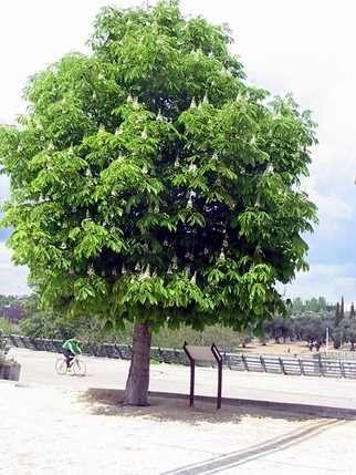 Arboles para dar sombra mejores plantas para espacio p blico for Arboles ornamentales de jardin de hoja perenne