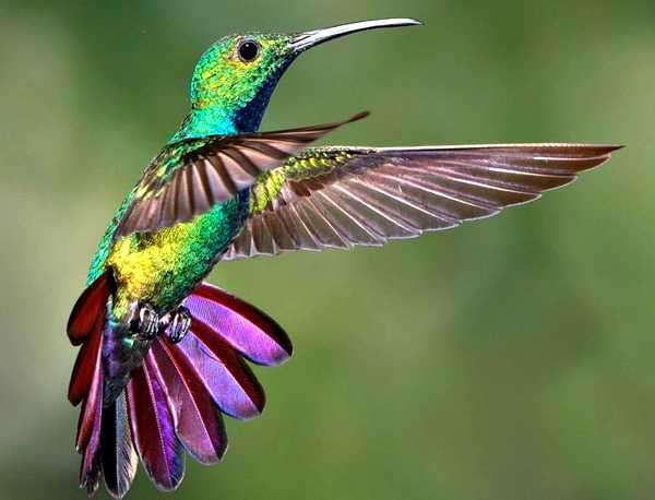 colibri o picaflor