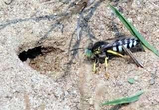 hormiga cazadora de moscas