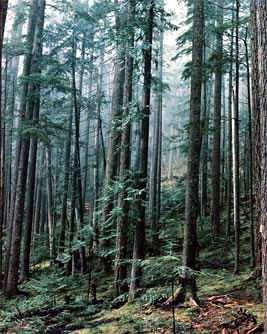 selva de coniferas