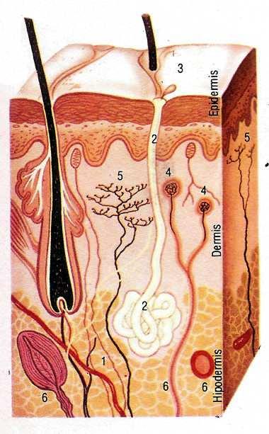 corte de la piel humana - sangre caliente